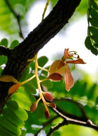 la génesis del tamarindo - Gerardo Mayet Cruz (1)
